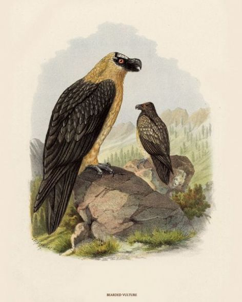 Fine Art Print of the Bearded Vulture by O V Riesenthal (1876)